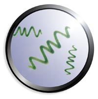 la spiruline vue au microscope